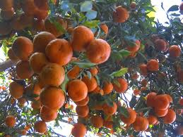 Latpanchar-orange
